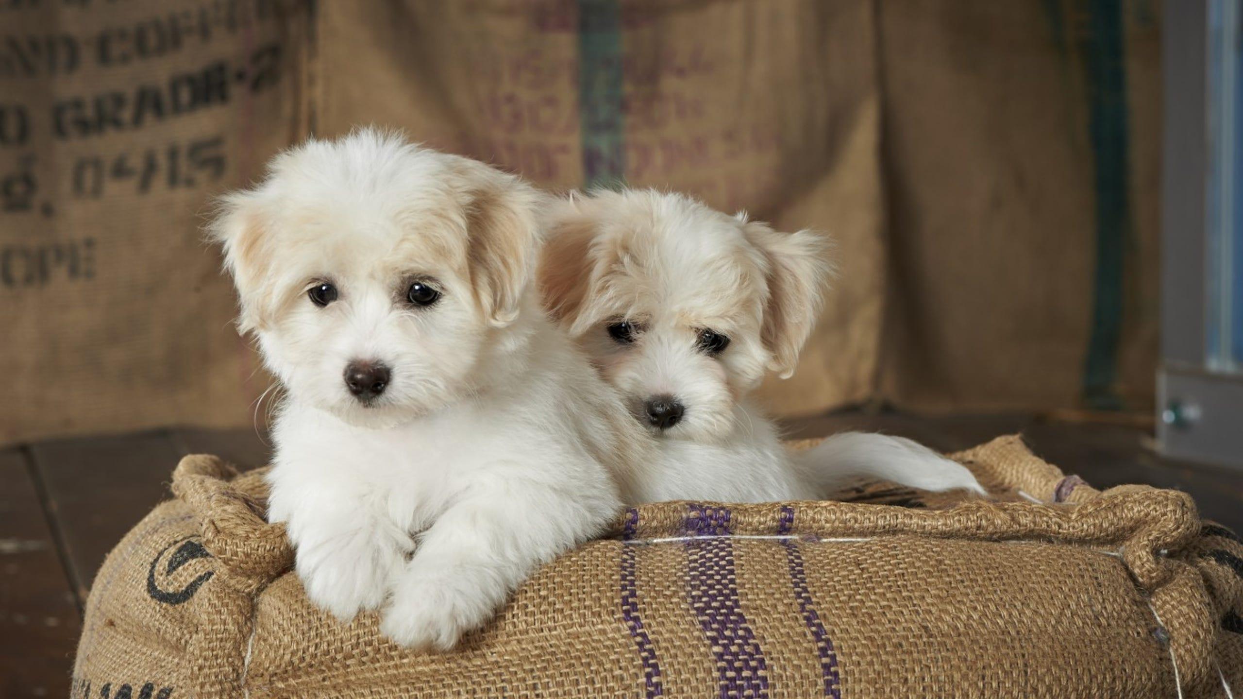 Top 8 cele mai mici rase de caini